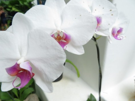 "Orchids were used by witches to prepare ""love spells"""