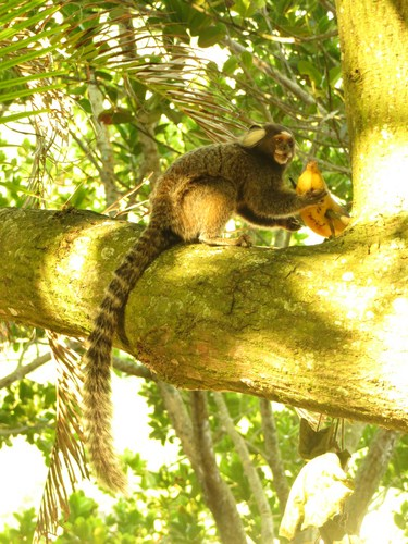 Little cute monkeys dine on bananas.
